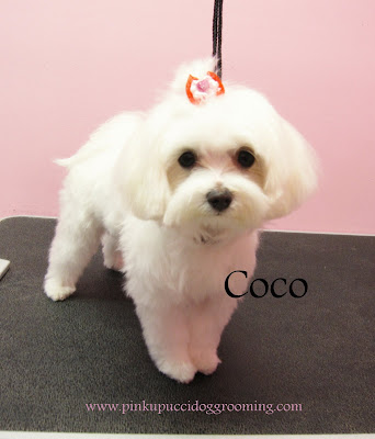 Coco the maltese