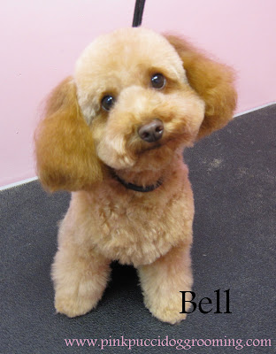 Bell The Toypoodle