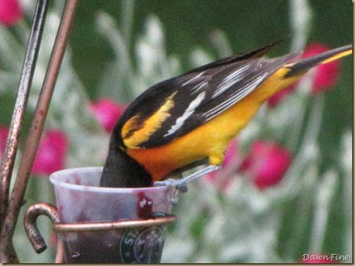 birds at feeder_20090624_050
