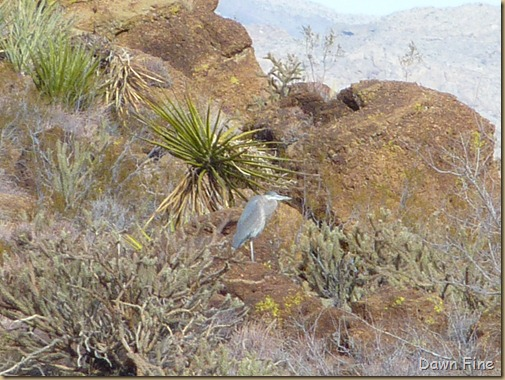 Christmas bird count red rock canyon_052