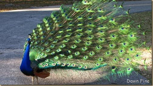 Peacocks @Magnolia Park, Apopka Florida_119