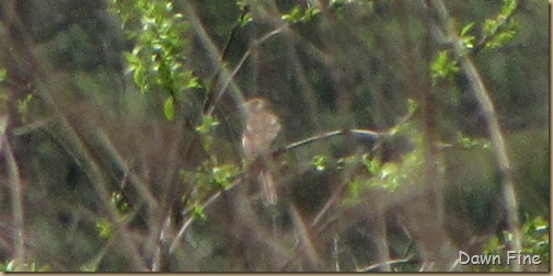 Cassins Sparrow in NC_004