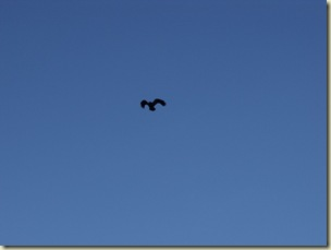 01 Raven soaring over Cedar Breaks NM UT (1024x768)