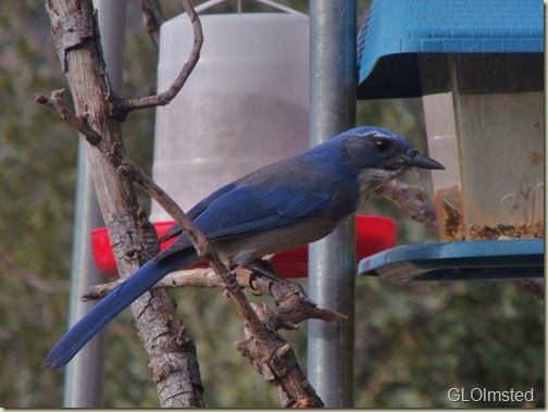01 Scrub Jay at feeder Yarnell AZ (1024x768)
