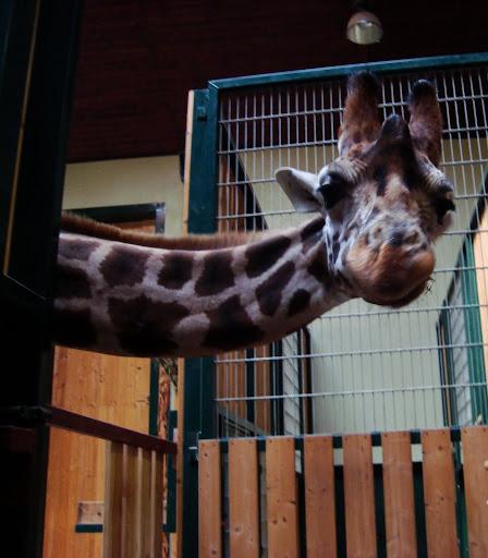Żyrafa piękna jest!