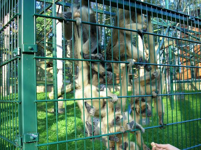 Wyjce czarne - Zoo Oliwa