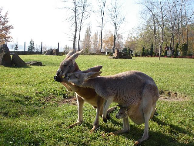 Kangury rude