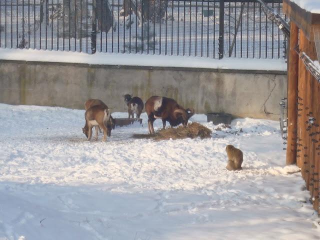 Muflony i magot - Zoo Wrocław