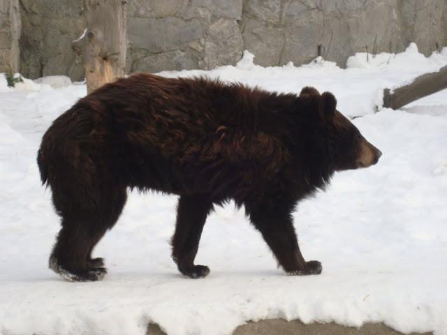 Niedźwiedź himalajski na śniegu - Zoo Wrocław