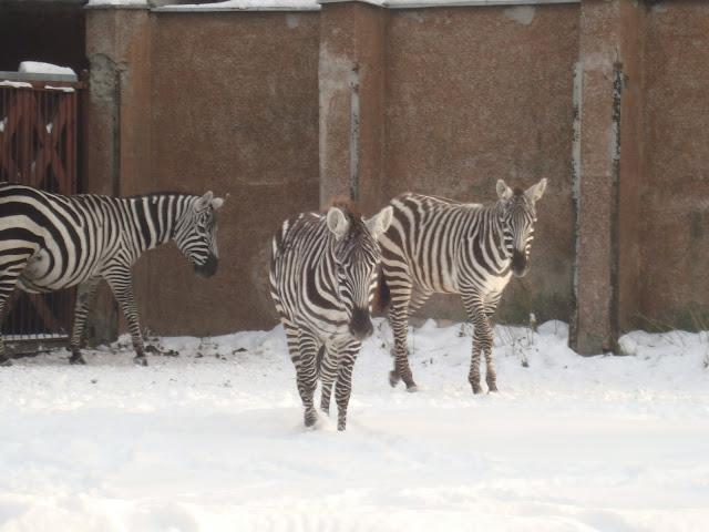 Zebry z wrocławskiego zoo na śniegu