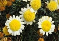 flor de cor amarela