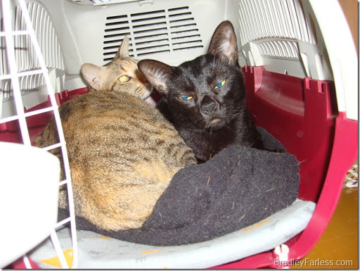 Dapper and Thumper, my other two cats sleeping in the carrier that was later used to bring Marble to NYC.