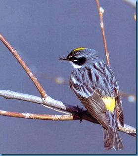 2004-10-28_233224_Yellow_rumped_warbler