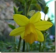 first daffodil_1_2_1