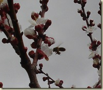 bee on apricot_1