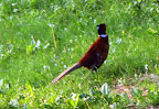 A pheasant - kindly suggested by Imran