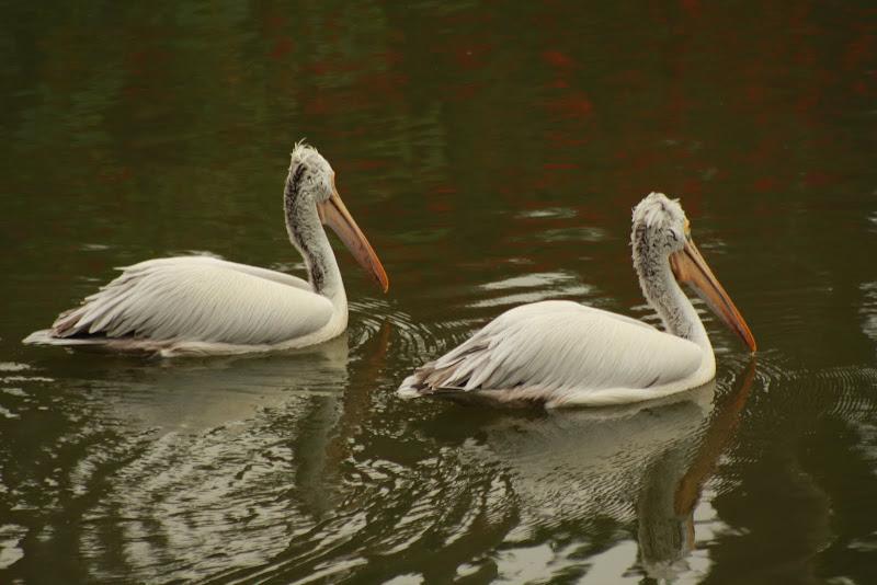 Pelican Pair at Lalbagh