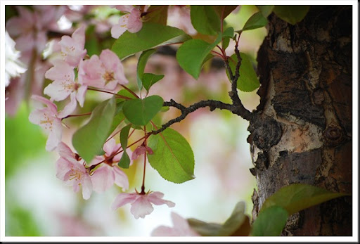 appleblossoms2