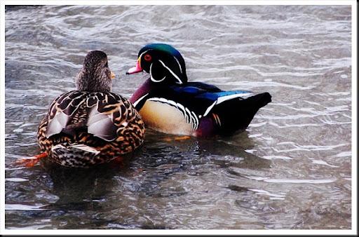 wood duck back2