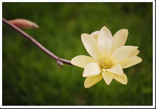 ~yellow magnolia~