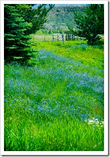 DSC_0006-blue-flower-field