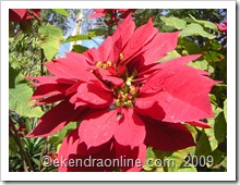 poinsettia lalupate: click to zoom, new window