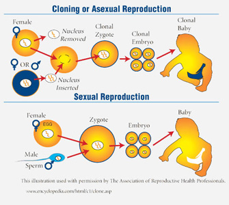 Asexual reproduction in human