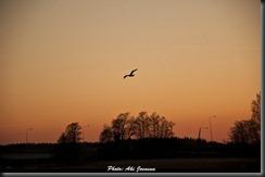 lintu siluetti 2