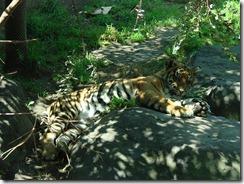 tigredormido