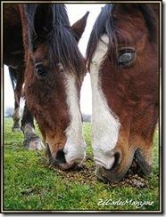 dois cavalos