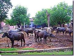 shivkuti cattles