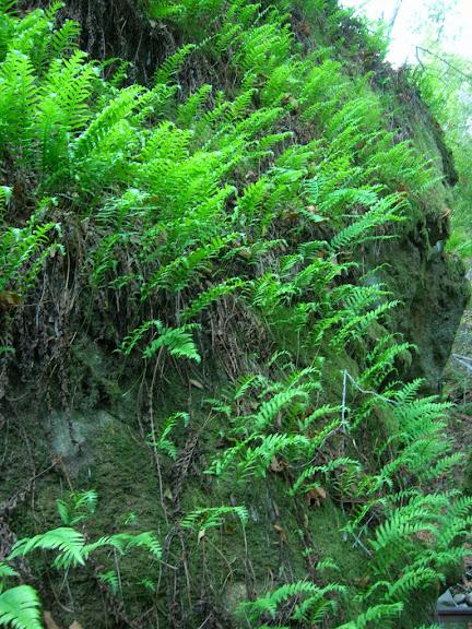 Lush ferns in Los Trancos Creek canyon