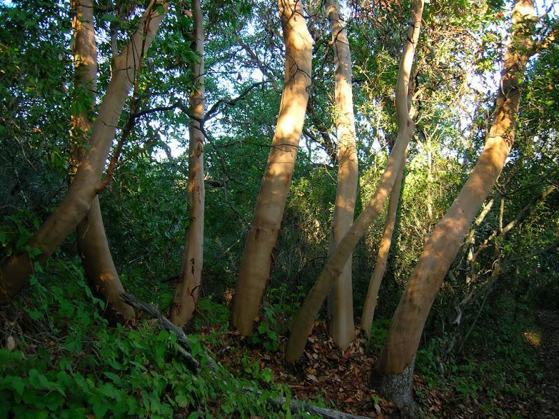 Madrones along the Los Trancos Trail