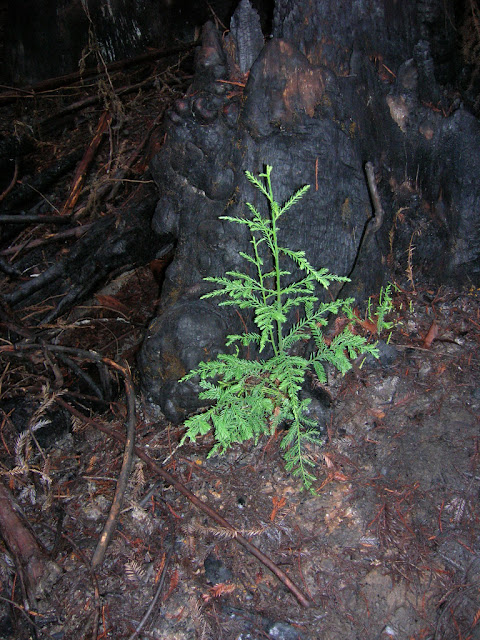New redwood emerging from the charred earth