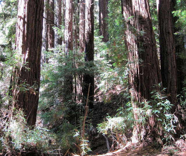 Redwoods near Dennis Martin Creek
