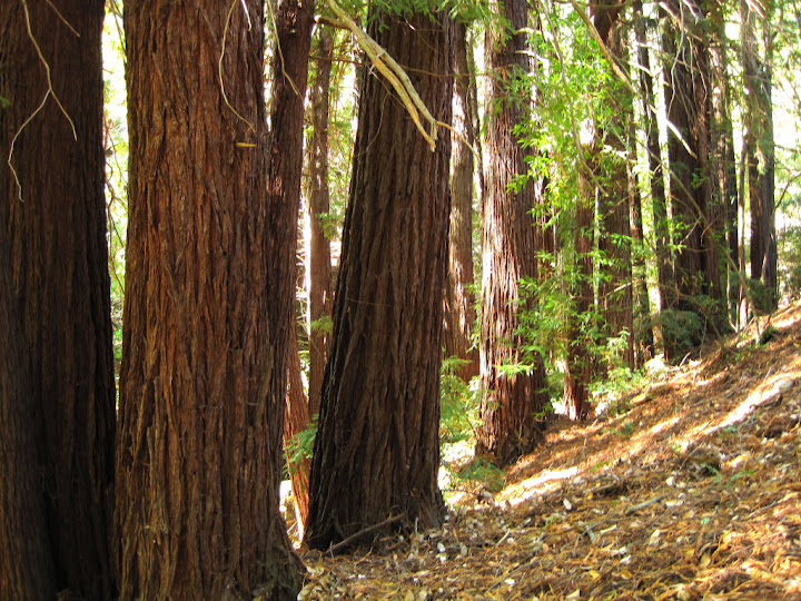 Redwoods on the Bridle Trail