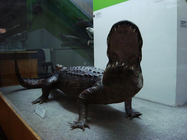 Muzeum Przyrodnicze we Wrocławiu - Aligator missisipijski