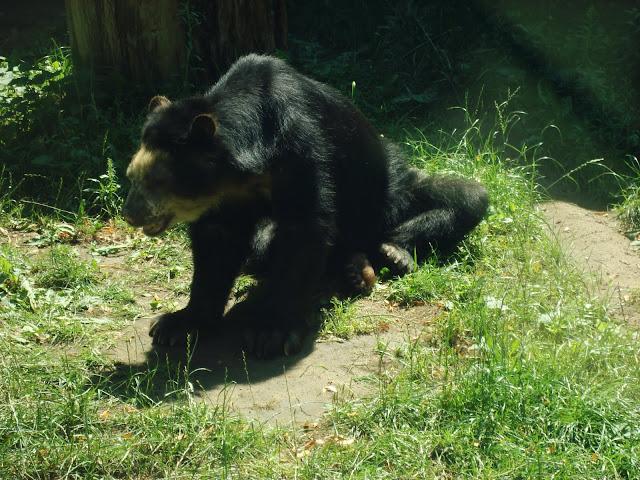 Bueno - niedźwiedź okularowy z wrocławskiego zoo