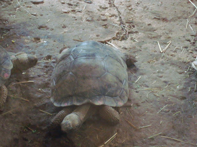 Żółw słoniowy - jeszcze bardzo mały...