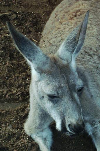 Kangur w Opolu - temu to dobrze!