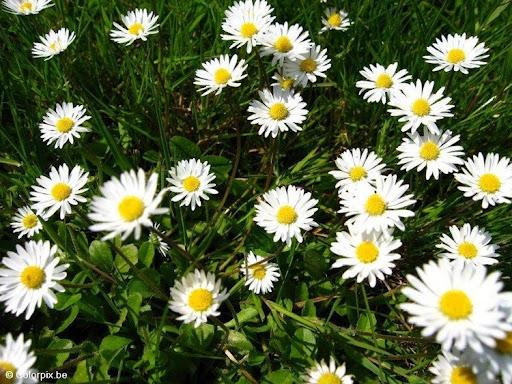daisies-1-t4816.jpg