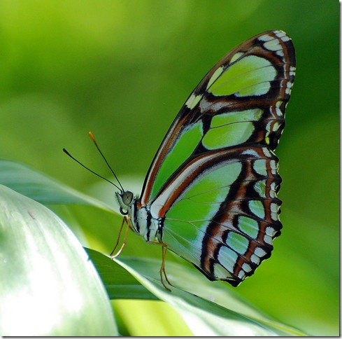 photoshare Green Is The Season Florida FloridaFanToo Malachite Butterfly New species in Florida