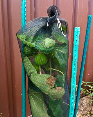 Fig Tree in Exclusion Bag