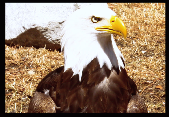 Àguila de Cabeza Blanca