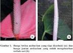 Gbr.1. Bunga betina anthurium siap diserbuki(a)dan bunga anthurium jantan yang sudah mengeluarkan serbuk sari(b)