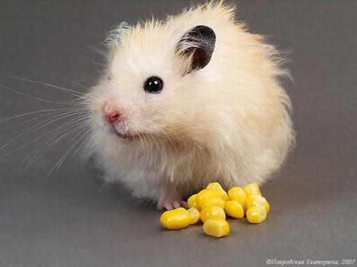 me voy a comer esas orejitas, si con un poco de maiz sabra de pm