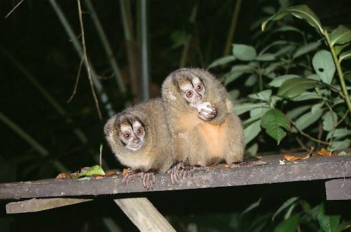 Aotus zonalis en isla Bastimentos Panama, mono nocturno, owl monkey