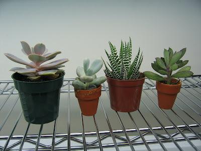 Suculentas | Yo mojo mis plantas
