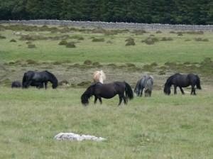 Horses on Heughscar Hill
