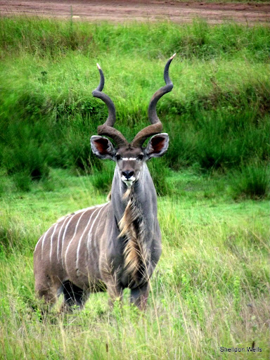 Kudu Bull at Tala Game Reserve, Durban, South Africa